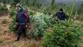 Eskil Andersson carries Christmas trees picked from his farm in Sankt Olof, Sweden, December 19.Picture: Reuters