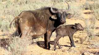 Mom was very protective over her newborn calf. Picture: Supplied/Aquila Private Game Reserve