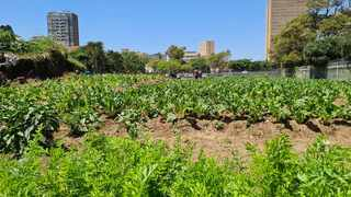 The Green Zone vegetable garden with beachfront hotels in the background, is proving to be popular with Durban residents. Picture: Sue Derwent