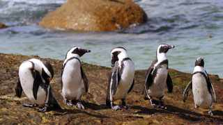 Along the white sand shores of Boulders Beach, you'll find the black and white African Penguins waddling around. Picture: Ian Landsberg/African News Agency (ANA)
