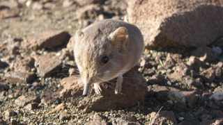 The Macroscelides micus elephant shrew is found in the remote deserts of western Africa. Picture: California Academy of Sciences via Reuters