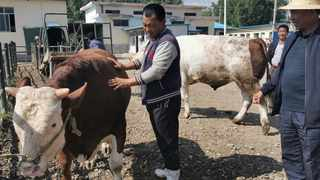 Ma Manai checks the condition of cattle. Picture: Wang Jintao/People's Daily