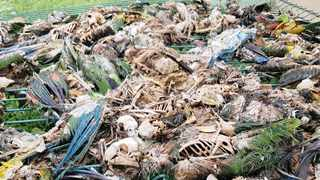 The decomposing carcasses of as many as 300 parrots, valued at an estimated R1 million, lie in a heap outside dirty parrot cages infested with large rats and covered in cobwebs.