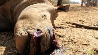 A total of 82 rhino have been poached in the country since January 1. File photo: Jennifer Bruce