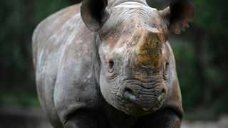 It's believed that hunting older black rhino is good for the population, as decimated as it is. Picture: Paballo Thekiso