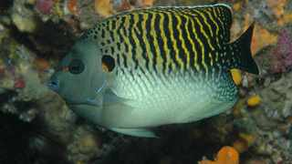 The Apolemichthy kingi, also know as tiger angel fish, was first discovered by Dennis King and it now bears his name. Picture: Dennis King