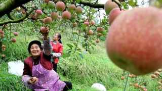 Farmers in Weining County, Bijie, southwest China's Guizhou Province pick apples in an orchard. Picture: Chen Wushuai/People's Daily Online
