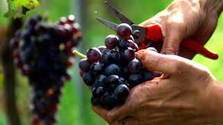 FILE PHOTO: Grape picker cleans a bunch of grapes at le Clos Saint Vincent vineyard in the outskirts of Nice. Data on grape harvests in the famed French wine region show a dramatic shift towards hotter and drier weather, climate change researchers said yesterday.