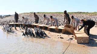 Penguins rescued from the Port Elizabeth coast following an oil spill in July have been released back to Bird Island. Photo: Supplied