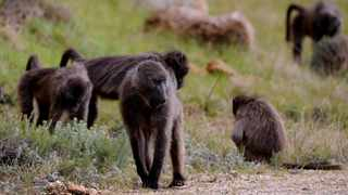 A campaign is calling for greater transparency regarding the way baboons have been managed in recent years. Picture: Ayanda Ndamane/African News Agency (ANA)