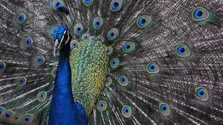 """Sun City management have labelled the damaging of visitors' cars by peacocks on their property, an """"act of God"""". File Picture: Tracey Adams/African News Agency(ANA)"""