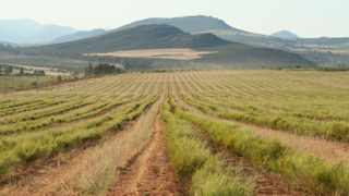 Rooibos production is primarily concentrated in a small section of mountains in the Clanwilliam area.Photo Supplied