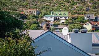 Kataza has spent much of his time in the residential area of Capri. Picture: NCC Environmental Services