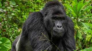 Rafiki, Uganda's famous silverback gorilla, was killed by a poacher in June 2020. Photo: Twitter/ @ugwildlife