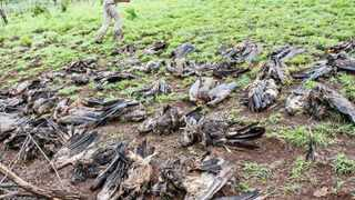 Ben Hoffman, of the Raptor Rescue project, gathers up the carcasses of at least 37 endangered white-backed vultures killed in a single incident in Hluhluwe-Imfolozi Park after feeding on an elephant carcass laced with poison. Picture: Andre Botha, Endangered Wildlife Trust