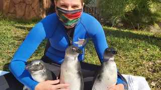 African penguins, Admiral Paul, Baroness Jennifer and Captain Jack Sparrow, were flown to Port Elizabeth where they were released into the ocean on Wednesday. With them is Kelly de Klerk. Picture: Supplied.
