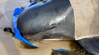 A whale lies on the beach as the rescue efforts take place at Macquarie Harbour in Tasmania, Australia. Picture: Bilal Rashid via Reuters
