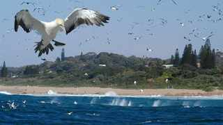 Gannets diving off the KZN South Coast during the sardine run. Picture: Supplied.