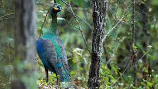 A green peacock strolls in a forest in Yunnan Province, southwest China. File picture: Xi Zhinong