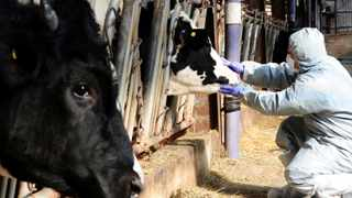 A health officer checks for foot-and-mouth disease. File picture: Moon Yo-han/News1 via Reuters