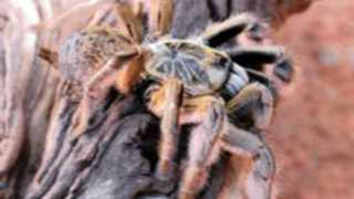 A Golden baboon spider. Picture: www.exxaro.com
