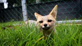 One of three rescued Cape Fox's hiding in the grass at Eagle Encounters. Eagle Encounters located at Spier in Stellenbosch was founded in 2001 by Hank and Tracy Chalmers. Picture: Brendan Magaar African News Agency (ANA)