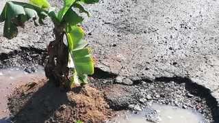 A KwaDakuza man, fed up with the ongoing issue of potholes in his area, planted a banana tree in one of the potholes to get the municipality's attention. Picture: Supplied