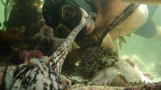 My Octopus Teacher showcases the Great African Sea Forest off the south-west tip of the African continent for the first time and features the rare and extraordinary footage of man's unexpected bond with a curious little octopus.