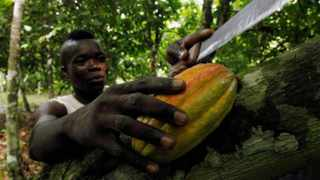 A farmer prepares to cut cocoa pods at a cocoa farm in Agboville, Ivory Coast. Picture: Luc Gnago/Reuters