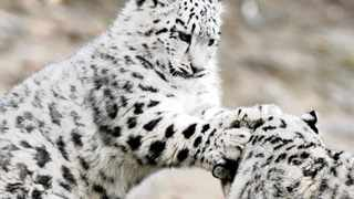 Connections: A snow leopard cub plays with its mother at the Zurich zoo. Edelweiss Airline will fly between Zurich and South Africa.
