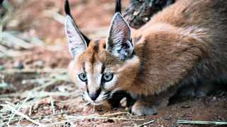 The Cape of Good Hope SPCA has urged hikers and residents to report sightings of caracals on Table Mountain following the devastating fire. File picture: Phando Jikelo/African News Agency/ANA