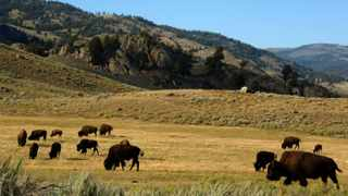 A herd of bison grazes in the Lamar Valley of Yellowstone National Park in Wyo. File photo: Reuters