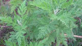 Artemisia afra: researchers are investigating whether the plant - also known as African wormwood, lengana, wilde als and umhlonyane - may contain phytochemicals useful in the treatment of Covid-19. Picture: Alison Young UKZN Botanical Garden