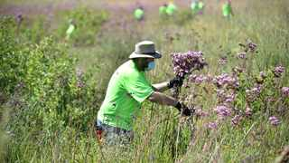 Volunteers remove pom pom weeds at the Rietvlei Nature Reserve. Picture: Thobile Mathonsi African News Agency (ANA)
