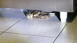 A 60cm puff adder was found hiding under a stove in Merrivale in Pietermaritzburg. Picture: Supplied