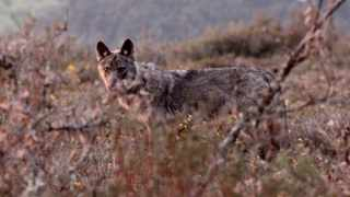 A wild Iberian wolf in Spain's Sierra de la Culebra mountain range. Hunting for wolves is on the decline in Spain. Picture: John Hallowell, Wild Wolf Experience