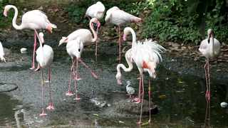 One of the next generation of flamingoes, among the adults, at Umgeni Bird Park.