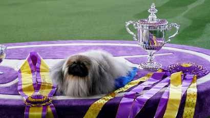 LOOK: Wasabi the Pekingese crowned 'Best in Show' at Westminster Dog Show