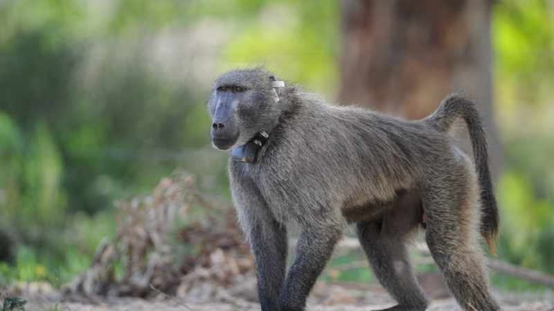 City calls on Cape residents not to interfere with the baboon SK11, aka Kataza, Newsline