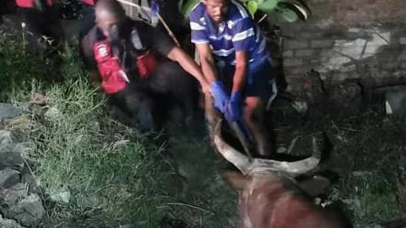 Taking the bull by the horns – literally, Newsline