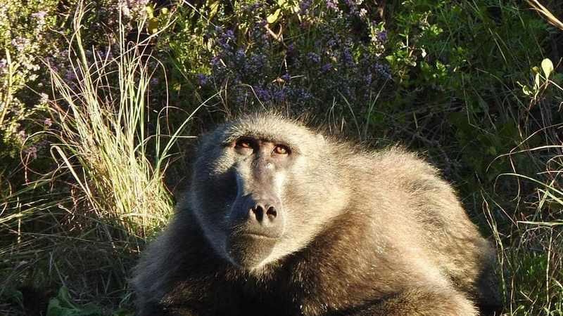 89419729 84e8 5e7c 90e5 327da1d90b97 - City of Cape Town defends removal of beloved Kommetjie baboon, Kataza