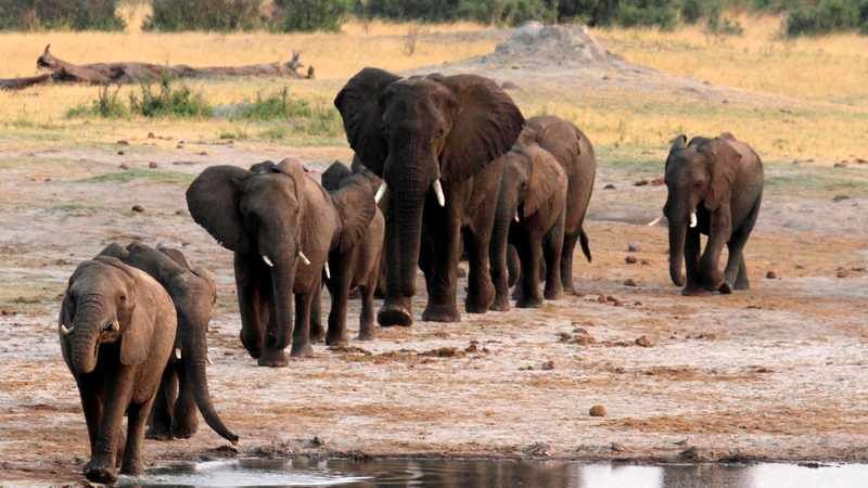 Is a bacteria killing elephants in Zimbabwe and Botswana?, Newsline