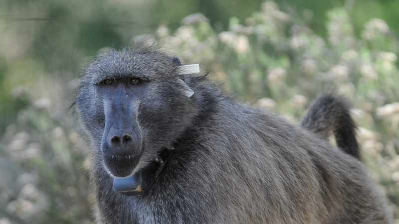 City of Cape Town's Kataza about-turn sparks calls for baboon management protocols review, Newsline