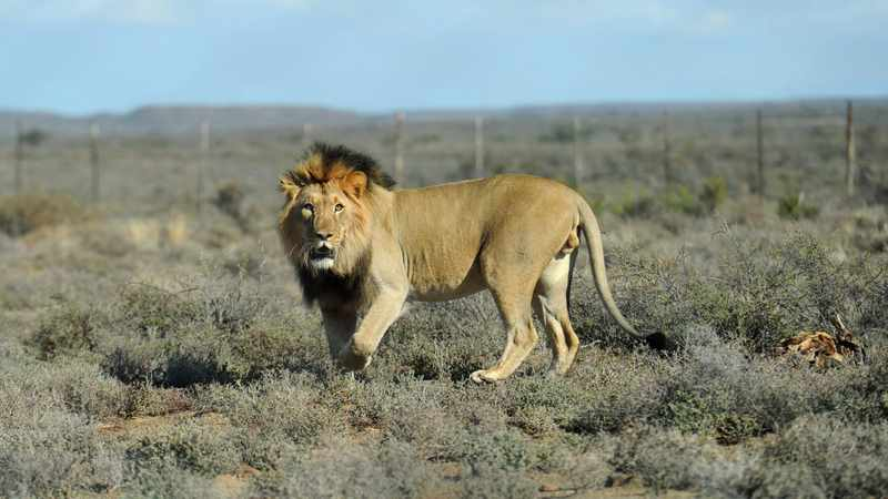 SANParks defends decision to 'put down' 7 lions in Karoo park, Newsline
