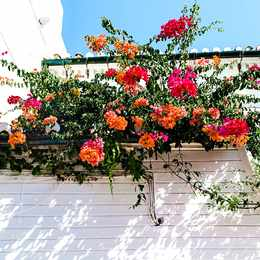 A flowering shrub perfect for sunny South African gardens