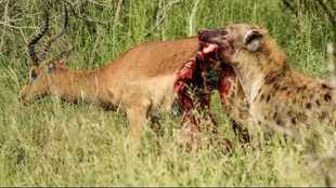 WATCH: Impala tries to escape while being devoured by hyena