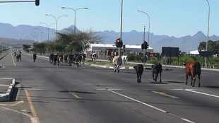 Cows jump a red robot, ducks hit the road for a Freedom Day outing in Cape Town
