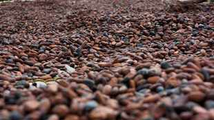 Cameroon seeks to improve Cocoa bean quality after declines