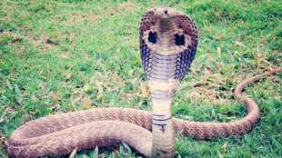 WATCH: This video of a guy giving his king cobra a bath is giving us the hibbie jibbies