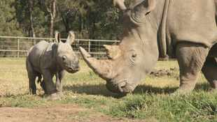 South Africa rhino poaching plunges during pandemic
